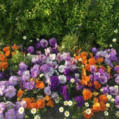 春/ガーデニング/パンジー/花 庭の花が、いっぱい咲いてくれました。✧*…