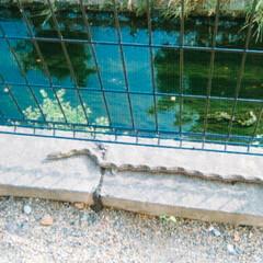 生き物/ヘビ 家の裏の川から上がってきたと思われるヘビ…
