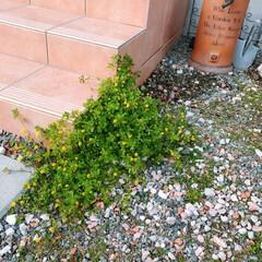 フレンチカントリー/ガーデン雑貨/ガーデニング/水栓柱/雑貨/暮らし 階段脇に咲いてきたクスダマツメクサ(❁´…