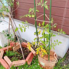 ミニトマト栽培/オリーブ/ナチュラルガーデン/ガーデニング/ミニトマト 最近のgreen達(❁´ω`❁)  麻バ…