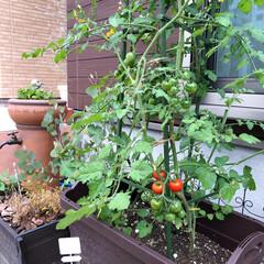 ミニトマト/家庭菜園/フォロー大歓迎/暮らし/住まい 家庭菜園初心者のミニトマト♪!!  ちょ…(1枚目)