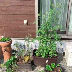 プチトマト/ミニトマト/家庭菜園/フォロー大歓迎/暮らし/住まい/... 家庭菜園中のミニトマトヽ(*^^*)ノ …
