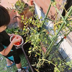 プチトマト/ミニトマト/家庭菜園/暮らし/フォロー大歓迎/夏のお気に入り 家庭菜園のミニトマトを収穫する末っ子くん…