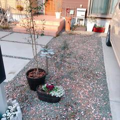 ユーカリ/オリーブの木/ガーデニング/ナチュラルガーデン/春のフォト投稿キャンペーン/平成最後の一枚/... 植木鉢に植え替えたオリーブの木(o^^o…