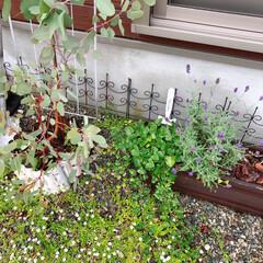 ユーカリポポラス/暮らし/ラベンダー/ガーデニング/ナチュラルガーデン 最近のお庭(❁´ω`❁)  木製プランタ…