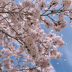 桜満開/さくら/桜/春のフォト投稿キャンペーン/平成最後の一枚/フォロー大歓迎/... 今日のお昼は天気が良かったので、桜を見に…