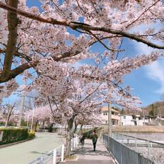 さくら/桜/桜満開/春のフォト投稿キャンペーン/平成最後の一枚/フォロー大歓迎/... 今日のお出かけワンショット♡♪  青空に…