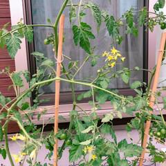 プチトマト/ミニトマト/家庭菜園/フォロー大歓迎/暮らし/住まい/... 今年初めて挑戦した家庭菜園♪のプチトマト…
