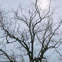 自然/公園/フォロー大歓迎/GW/おでかけ/わたしのGW 公園でふと上を見たら血管みたいな木を発見…