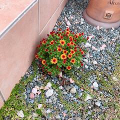 ガーデニング/マーガレット/住まい/暮らし/フォロー大歓迎 階段横に咲いて来たマーガレット(❁´ω`…