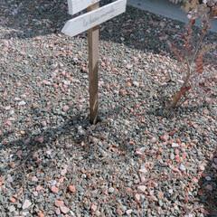 砂利/砂利敷き/ヒメイワダレソウ/玄関周り/フォロー大歓迎/住まい 今の季節、砂利に同化しているヒメイワダレ…