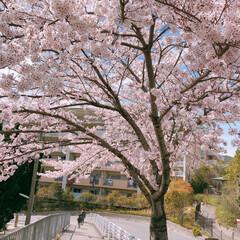 桜/さくら/桜満開/春のフォト投稿キャンペーン/平成最後の一枚/令和カウントダウン/... お昼のお出かけワンショット♡♪  長女と…