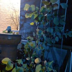 ユーカリポポラス/ユーカリ/住まい/暮らし/フォロー大歓迎 夜pic~♩  水やりも完了~(❁´ω`…