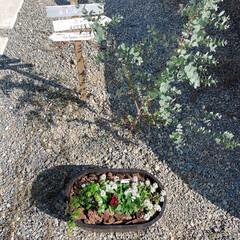 ユーカリ/ユーカリグニー/シュガーバイン/秋の寄せ植え/寄せ植え/アリッサム/... 駐車場の一角♪  アリッサムとビオラ、シ…