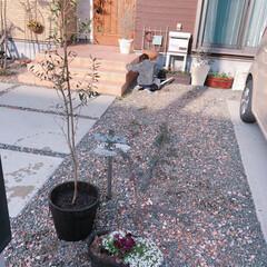 ナチュラルガーデン/オリーブの木/ガーデニング/春のフォト投稿キャンペーン/平成最後の一枚/フォロー大歓迎/... 植え替えしたオリーブの木にせっせと水やり…