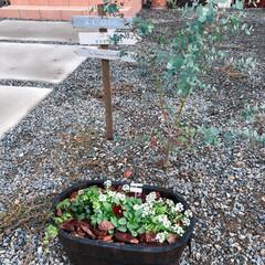 ガーデンピック/木製ピック/寄せ植え/ビオラ/アリッサム/ガーデニング/... 寒さにも強いアリッサムとビオラ♡♪  長…