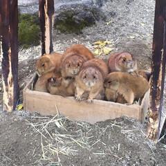 プレーリードッグ/動物園/秋/おでかけ 急に涼しくなってきたので、小さな箱に入っ…
