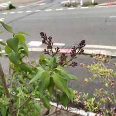 グリーン ライラック もう少しで咲くね(*´ω`*)