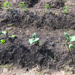 畑/令和の一枚 昨日写真撮り忘れた畑🤳  ナス、トマト、…(4枚目)