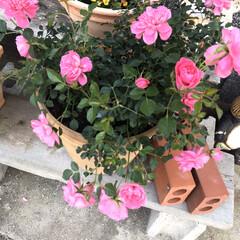 庭/オレガノケントビューティー/ミニ薔薇スイートメモリー/こぼれ種/ネモフィラ 最近の庭です😃 去年プランターに植えてい…(1枚目)