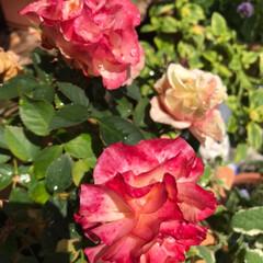 庭の花/薔薇/花/令和元年フォト投稿キャンペーン/令和の一枚/至福のひととき/... こんにちわ😊 今日も暑い〜💦今朝は洗濯物…(4枚目)