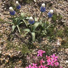 庭/オレガノケントビューティー/ミニ薔薇スイートメモリー/こぼれ種/ネモフィラ 最近の庭です😃 去年プランターに植えてい…(10枚目)