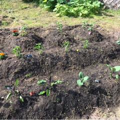畑/令和の一枚 昨日写真撮り忘れた畑🤳  ナス、トマト、…