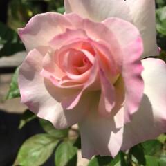 庭の花/薔薇/花/令和元年フォト投稿キャンペーン/令和の一枚/至福のひととき/... こんにちわ😊 今日も暑い〜💦今朝は洗濯物…