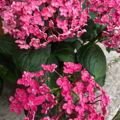 華あられ/コットンキャンディ/紫陽花/花/令和元年フォト投稿キャンペーン/令和の一枚 紫陽花の華あられ、すっかり濃いピンクにな…