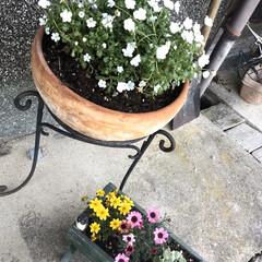 庭/オレガノケントビューティー/ミニ薔薇スイートメモリー/こぼれ種/ネモフィラ 最近の庭です😃 去年プランターに植えてい…(2枚目)