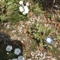 庭/オレガノケントビューティー/ミニ薔薇スイートメモリー/こぼれ種/ネモフィラ 最近の庭です😃 去年プランターに植えてい…(5枚目)