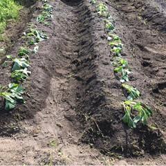 畑/令和の一枚 昨日写真撮り忘れた畑🤳  ナス、トマト、…(2枚目)