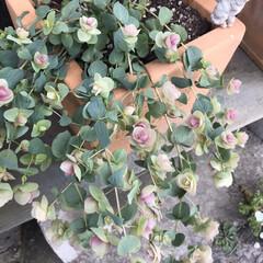 庭/オレガノケントビューティー/ミニ薔薇スイートメモリー/こぼれ種/ネモフィラ 最近の庭です😃 去年プランターに植えてい…(8枚目)