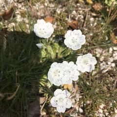 庭/オレガノケントビューティー/ミニ薔薇スイートメモリー/こぼれ種/ネモフィラ 最近の庭です😃 去年プランターに植えてい…(6枚目)