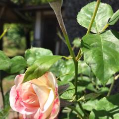 庭の花/薔薇/花/令和元年フォト投稿キャンペーン/令和の一枚/至福のひととき/... こんにちわ😊 今日も暑い〜💦今朝は洗濯物…(2枚目)
