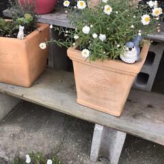 庭/オレガノケントビューティー/ミニ薔薇スイートメモリー/こぼれ種/ネモフィラ 最近の庭です😃 去年プランターに植えてい…(3枚目)