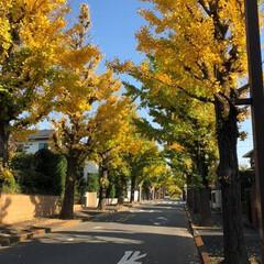 紅葉/銀杏/並木道/大田区/田園調布 工事現場へ向かう途中の銀杏並木。 まだ少…
