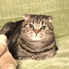 スコテッシュフォールド/スコテッシュ/猫/犬猫以外もいいぞ派/猫派/犬派/... リッチーです。 ウフフ♪ なんか笑ってる…
