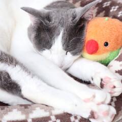 ペットと暮らす/猫/暮らし お気に入りの鳥さんと𓂃zzz (2枚目)