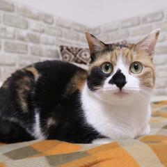 ペット/猫/にゃんこ同好会 ニコです♩ 目線の先はパパฅˆ•ﻌ•ˆฅ♡(1枚目)