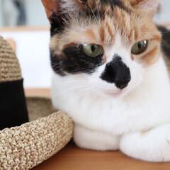 猫派/LIMIAペット同好会/にゃんこ同好会/暮らし/うちの子ベストショット ニコですฅˆ•ﻌ•ˆฅ  お洋服の写真を…