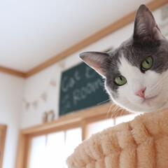 LIMIAペット同好会/フォロー大歓迎/ペット/猫/にゃんこ同好会/うちの子自慢 お呼びですかにゃ?  byモコ(1枚目)