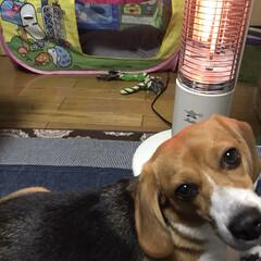 アラジンヒーター/犬/ビーグル/ヒーター/子供のテントが犬小屋に 毛深いのにヒーター好き  家族の誰よりも…