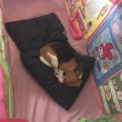 ビークル/ハウス/犬小屋/ペット/犬/インテリア 犬小屋が嫌いなくせに  娘のおままごとハ…