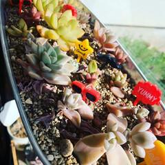ピック/お弁当ピック/お弁当/多肉植物/雑貨/DIY/... ビタミンカラーなお弁当ピックを  多肉に…
