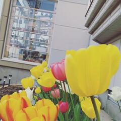 春/植え替え/ガーデニング/チューリップ/風除室/多肉植物/... あっという間に散ってしまったチューリップ…