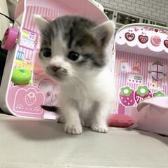 シンデレラフィット/おままごと/猫/子猫/暮らし/フォロー大歓迎 キャットウォークを作ろうと以前作ったディ…