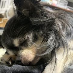 老犬/徘徊/フォロー大歓迎/ペット/犬/おやすみショット おばあちゃんチワワ  ずっと寝てるので …