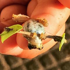 バーベル/ベンチプレス/トレーニング/カエル/夏の思い出/DIY 旅行先の裏の田んぼで見つけたアマガエルく…