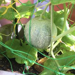 グリーン/メロン/園芸/家庭菜園/インテリア/グルメ/... 食べたメロンの種、まいたら芽が出て実がな…